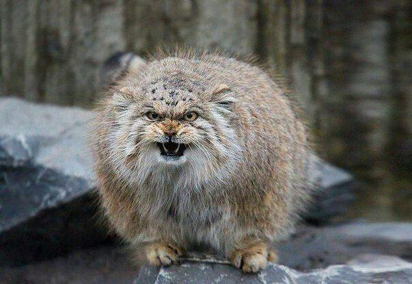 Манулы   Манул, Норвежская лесная кошка, Кошки и котята