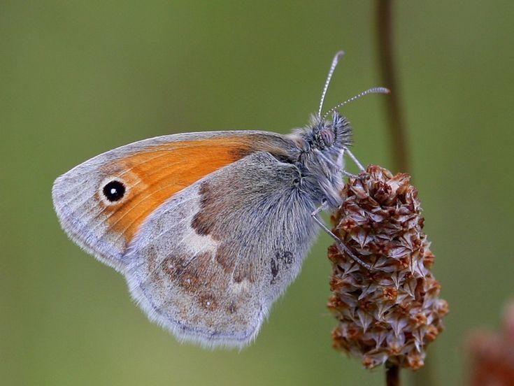 Okkergul Randøje (Coenonympha pamphilus) Kendetegn: Vingefang: 24-34 mm. Vingeoversiden er gylden-orange med et sort plet ved forvingespidsen og en svag, lys tegning på bagvingerne. Levested: Arten findes på et bredt udvalg af forskellige åbne (eller halvåbne) biotoper, men har en forkærlighed for tørre - ofte sandede - steder med græsser. Den lader ikke til at have specielle præferencer indenfor blomstervalg, men ses alligevel påfaldende ofte på mælkebøtter, tidsler, eller Blåhat.