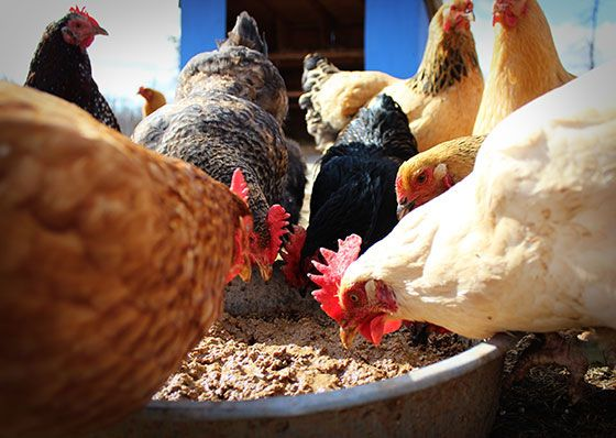 12 Resources on What to Feed Your Chickens