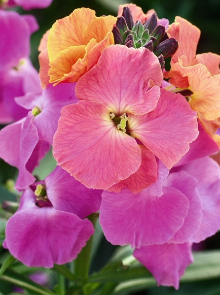 `Winter Sorbet' Wallflower (Erysimum)
