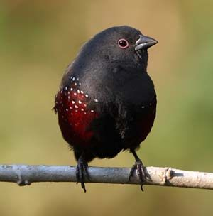 Dusky Twinspot: this localised and beautiful finch is common at Mount Moco, which is probably the best place in the world to see this species (Tasso Leventis)