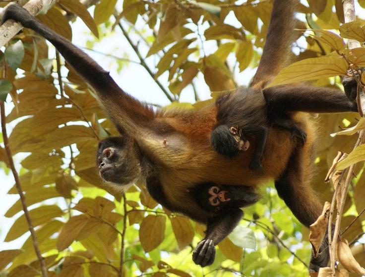 Mono Araña o mono colorado (Ateles geoffroyi)