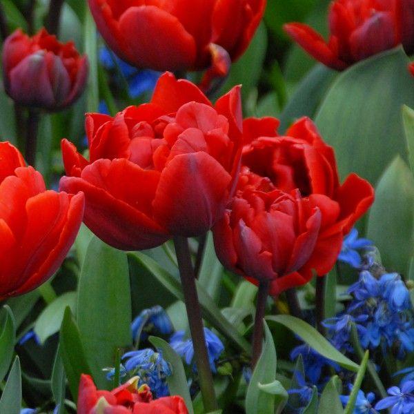 'Red Princess' - eine duftende Tulpe zum Verlieben schön. Pflanzzeit ist im Herbst - online bestellbar bei www.fluwel.de
