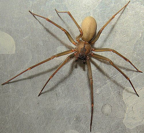 Brown Recluse Spiders …deadly and aggressive