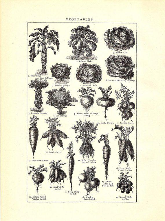 Vintage 1903 Vegetables Illustration for Altered Art, Collage
