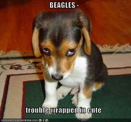Best 25 beagles ideas on pinterest beagle puppy beagle puppies beagles trouble wrapped in cute thats a fact beagle i voltagebd Image collections