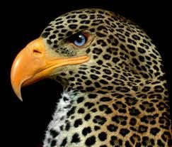 Mexican Leopard Eagle. I had no idea this existed!  The rare endangered Mexican Leopard Eagle. This beautiful bird is threatened by poachers who are frequently after its feathers.