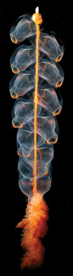 Related to the jellyfish and corals, the beautiful and alien Siphonophore is actually  a continuous chain of specialized polyps - individual animals that grow from one  another in an organized colony. Some in the colony are devoted to feeding, armed  with stinging cells to snag fish or invertebrates. Others are devoted to locomotion,  propelling the whole group with a continuous pumping motion. Still others, of  course, exist only to reproduce.