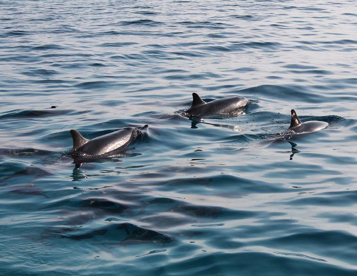 DELFINI BRANCO OCEANO INDIANO MALDIVE