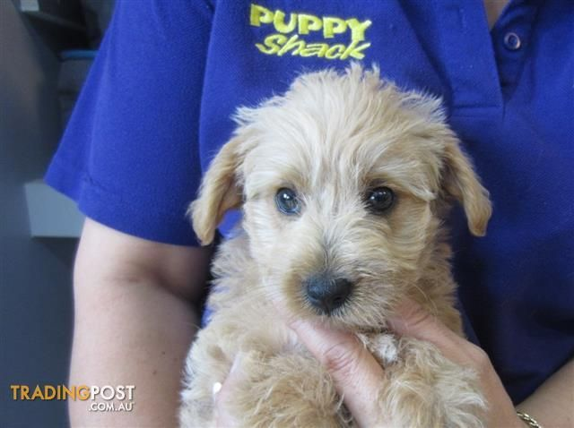 West Highland Terrier X Poodle Westiepoo Puppies At Puppy Shack Brisbane For S