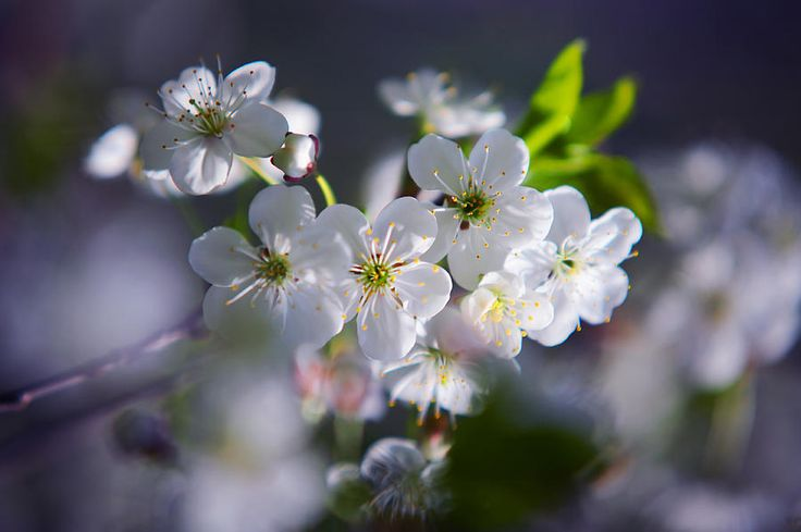 Spring Cherry Bloom by Jenny Rainbow   Joyful blossoming branch of the Cherry Tree in the spring time. Close up of the white blooming flowers and green leaves with purple bokeh background. #JennyRainbowFineArtPhotography #Nature #HealingArt #Spring #CherryBlossom #FineArtPrints