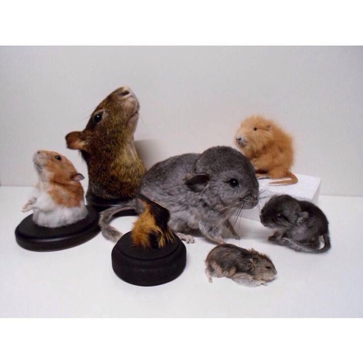 Dwarf Cars For Sale: 1000+ Ideas About Hamsters For Sale On Pinterest