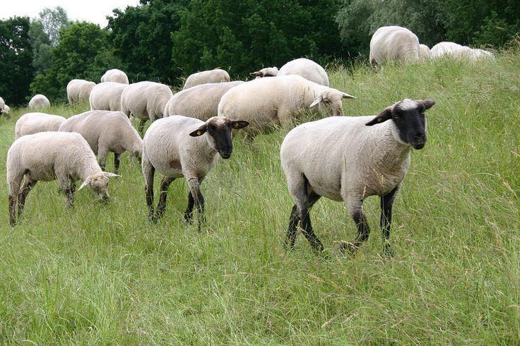 Gang Of Stoned Sheep Went On A Rampage After Eating Weed