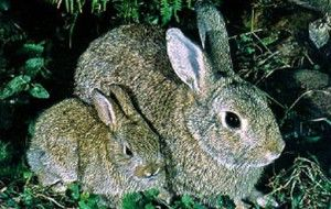 Calculates rabbit gestation period based on first date rabbit was bred. Rabbit Pregnancy Calculator uses a 29 day gestation.