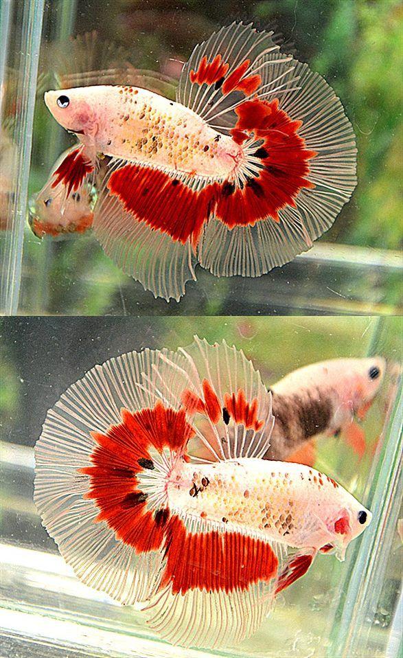 Fwbettashm1392953930 butterfly hm male betta fish for Butterfly betta fish