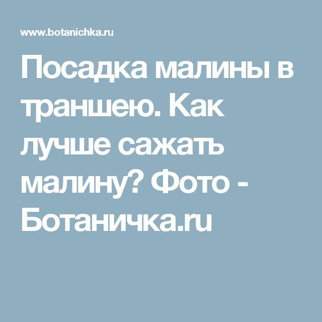 Посадка малины в траншею. Как лучше сажать малину? Фото - Ботаничка.ru