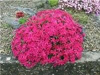 100Pcs/ Creeping Thyme bonsai, Rare Color ROCK CRESS plants – Perennial Ground Cover Flower Natural Growth For Home Garden