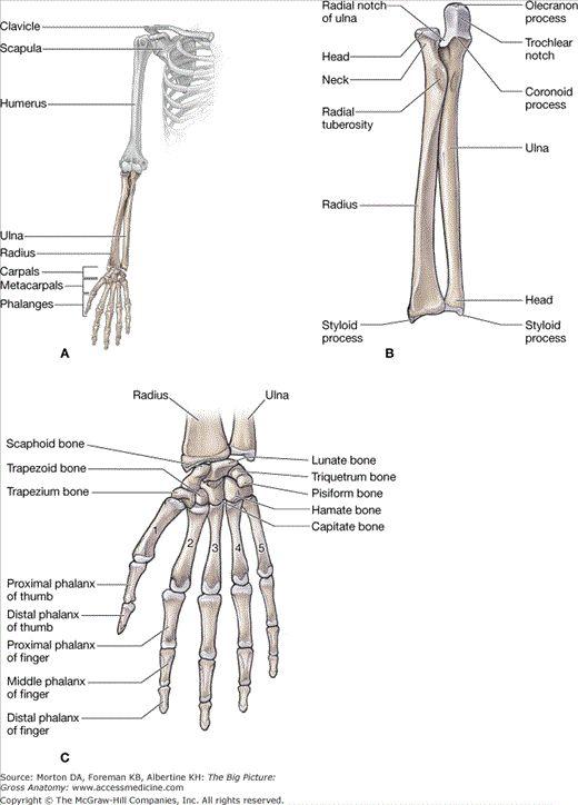 Radius and ulna anatomy 5836781 - follow4more.info