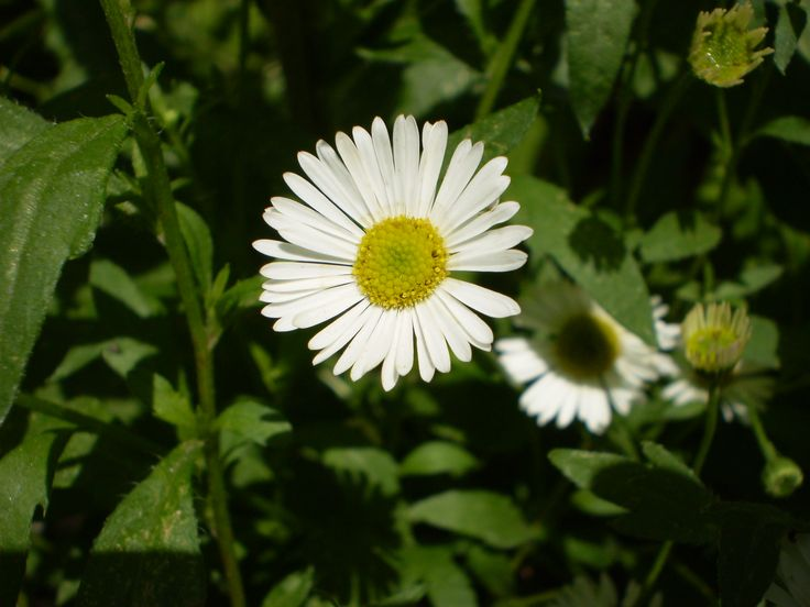 Chamomile: it has been used in both traditional and herbal medicine for centuries to aid sleep and assist insomniacs, reduce anxiety, help upset stomachs and menstrual cramps when taken internally, and can soothe skin disorders such as psoriasis, acne, diaper rash and many more when applied externally.