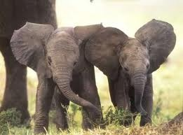 twins ♥Friends, Twin Photography, Animal Baby, Baby Elephants, Twin Baby, Sweets Animal, Baby Animal, Queens Elizabeth, Cutest Animal