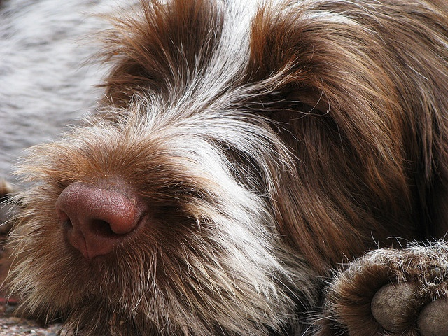 Wirehaired Pointing Griffon by ericawalker, via Flickr