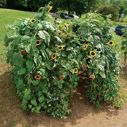 Sunflower Garden Ideas 7 sunflowers we love Sunflower Digs By Familyfun How To Grow A Sunflower House Sunflower_house Kids