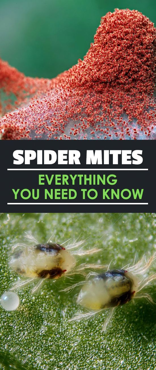 how to get rid of spider mites on indoor plants