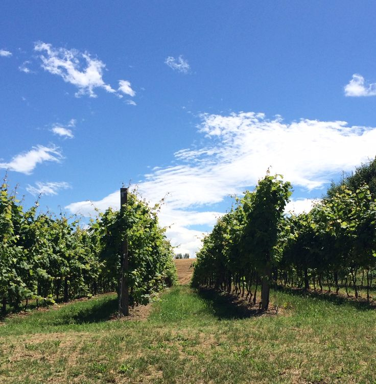 After the storm the #sun shines again on our #vineyards! #umbertocesari #winelovers #cluods