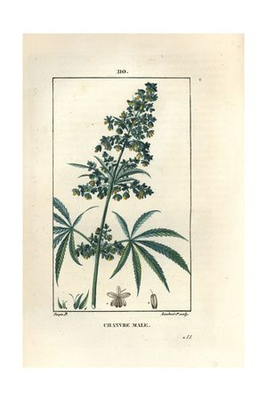 Hemp or Marijuana, Cannabis Sativa Giclee Print at AllPosters.com