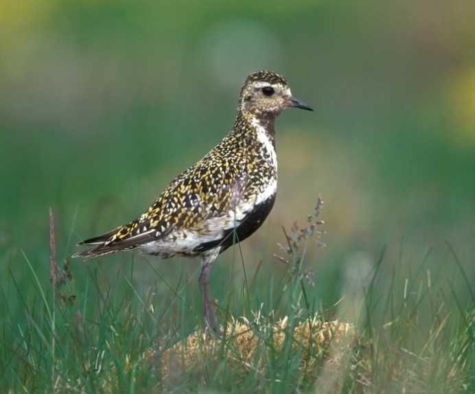 The golden plover..first herald of Spring in the Dark Peak