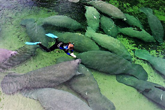 Save the Manatees, Blue Springs State Park
