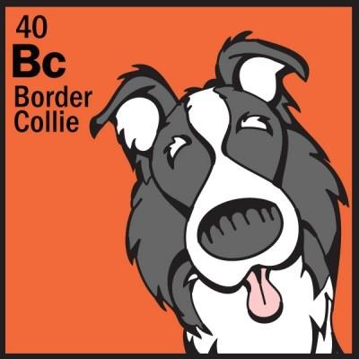 40-herding-border-collie