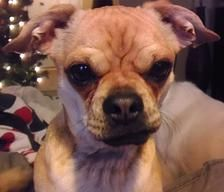 Ace Pug Rescue of Austin | Adopt a Pug