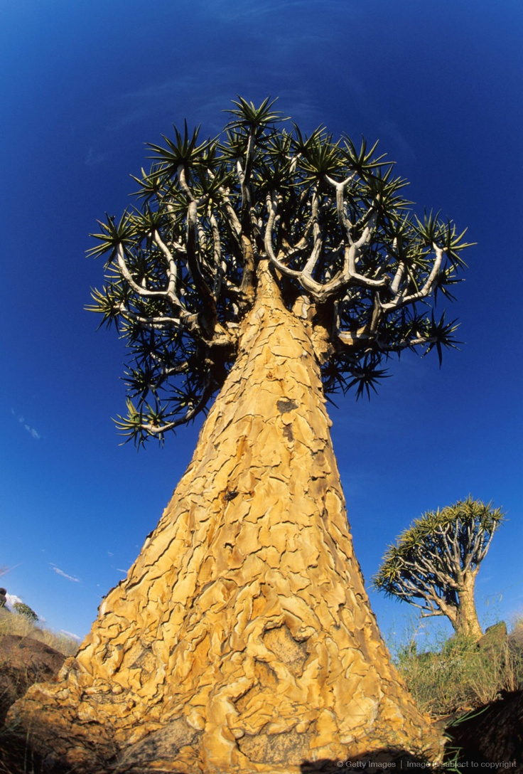 Image detail for - A Quiver Tree pictured from the ground upwards, Keetmanshoop District, Namibia, Southern Africa.