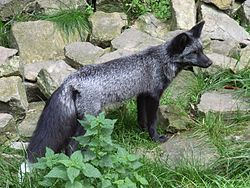 The silver fox (Vulpes vulpes) is a melanistic form of red fox. Silver foxes display a great deal of pelt variation: some are completely bla...