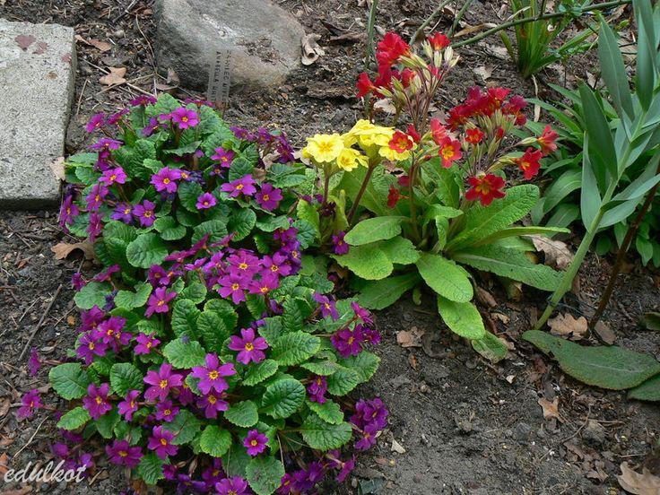 Zielono Zakręceni: Pierwiosnek gruzińsk (Primula juliae) – gatunek, odmiany, warunki uprawy w ogrodzie (1/1)