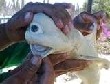Albino Cyclop Dusky Shark - Gulf of California, Mexico