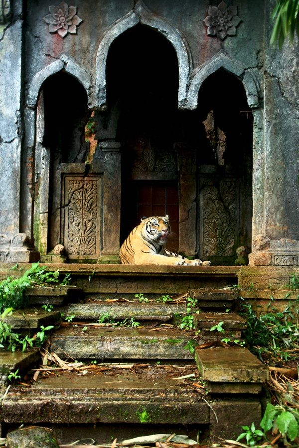 """""""Tiger of the lost temple"""" Photographer: JoeLeong http://500px.com/photo/32287667"""