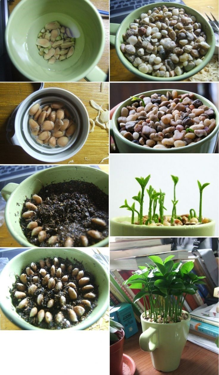 Lemon seeds the leaves smell so good. Awesome for kitchen, bathroom, or at my desk! 1.Soak lemons seeds overnight. 2.Gently remove outer layer of seeds. 3.Put back into water as you prepare soil. 4.Plant lemon seeds in a circle pattern. 5.Place small pebbles on top of seeds. 6.Water occasionally and watch it grow.
