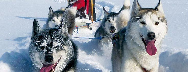 Huskys / hundeschlitten Skandinavien