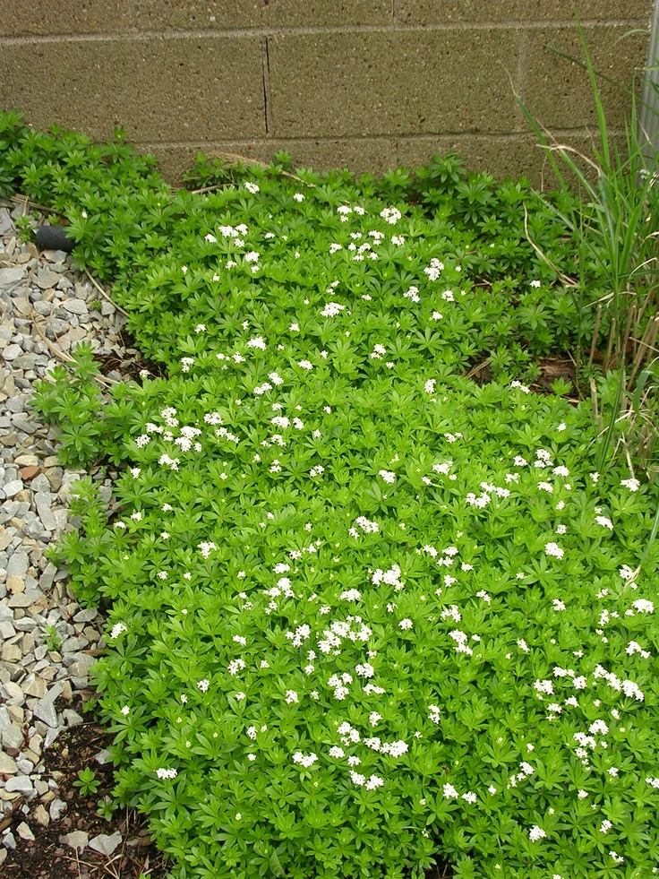 Sweet Woodruff In May Perennial In Many Parts Of The Us Likes Shade