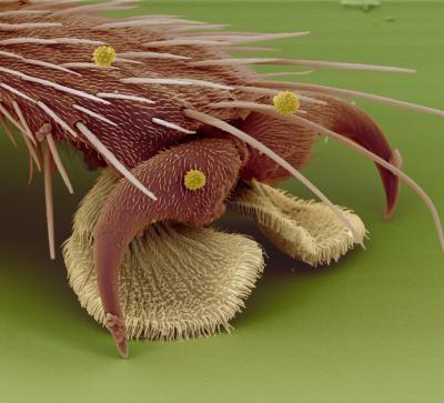Pata de una mosca doméstica bajo el microscopio electrónico