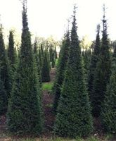Yew (taxus baccata) pyramids 200-225cm tall by 75-80cm wide at the base