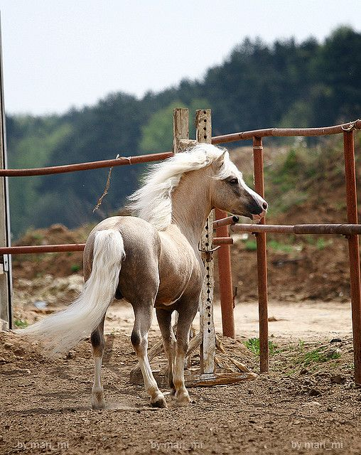 welsh mountain pony stallion