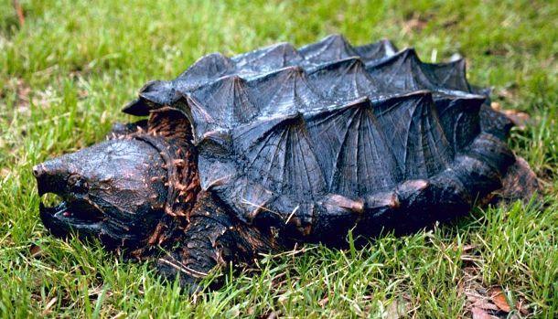 en.wikipedia.org Alligator_snapping_turtle