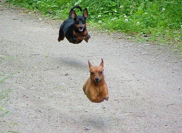hovering dogs...hahaha this is what timon looks like when he runs! must be a min pin thing!
