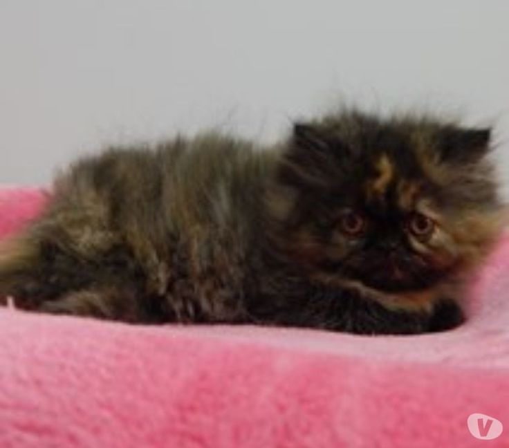 Persan chatons âgés de 15 semaines à vendre - Achat & vente animaux Asse - 1731 avec Vivastreet