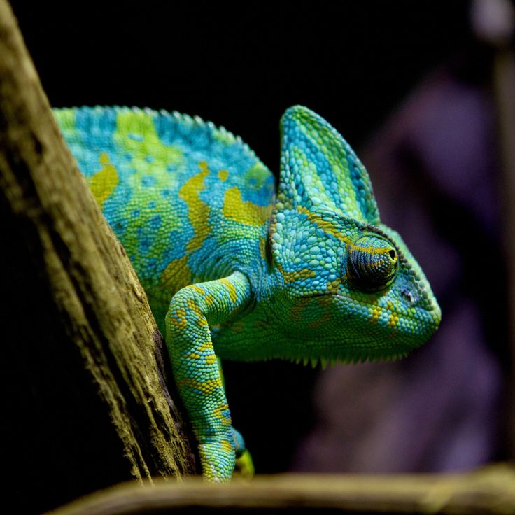Amazing Colorful Chamilions: 98 Best HD Lizard Wallpapers Images On Pinterest