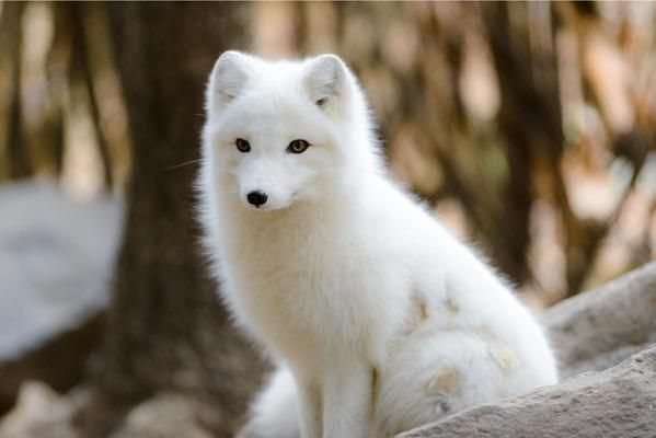 Arctic fox! I love the white foxes.