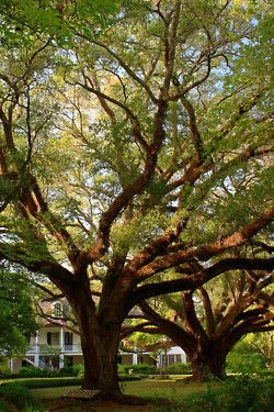 southernMelrose Plantations, Southern Living Travel, Southern Living Plantations, Canes Rivers, Front Yards, Deep South, Southern Home, Oak Trees, Louisiana Plantations